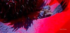 Dlice de pollen pour cette abeille (clairetresse) Tags: france bee poppy pollen nord abeille pavot isre