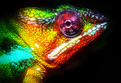 Panthers Chameleon