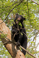 DO6A1374-copy (chops411) Tags: bear canon tn tennessee wildlife blackbear greatsmokymountains cadescove gsmnp wildlifephotography greatsmokynationalpark canon7dmarkii