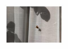 Rescape du Roundup (hlne chantemerle) Tags: shadow sun window soleil photographie curtain bee reflets vue paysages abeille insecte ombres fentres rideaux voilages