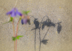 Shadow on the Wall (macplatti) Tags: shadow austria aquilegia columbine blau schatten frhling akelei vorarlberg schattenriss koblach bluespringtime