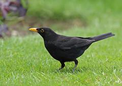 Blackbird (Turdus merula) - Hertfordshire (Andrew Bradford Images) Tags: turdusmerula blackbird thrush turdus eurasianblackbird