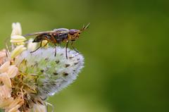 ready to fly (Santi BF) Tags: macro closeup bug insect fly bicho mosca insecto aproximacin