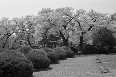 201604-02 (GenJapan1986) Tags: blackandwhite film japan spring university   cherryblossoms  miyagi  tohokuuniversity  ilfordhp5plus 2016      nikonnewfm2