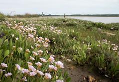 Sea Thrift (arripay) Tags: pink flowers sea plant art paw harbour thrift heath dorset arne weeks poole purbeck rspb rspbarne