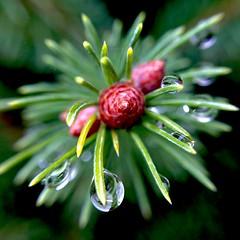 Tanne im Regen (dorisheyer) Tags: macro wassertropfen tanne