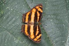 Liuzhou/ - Symbrenthia lilaea/Common Jester/ 1260 (Petr Novk ()) Tags: china nature animal butterfly insect asia wildlife lepidoptera asie   guangxi liuzhou   hmyz  nymphalidae   motl symbrenthialilaea commonjester na symbrenthia