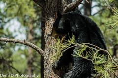 BlackBearMarked06 (1 of 1) (coldtrance) Tags: bear arizona black animal canon mammal outdoors wildlife blackbear canont3