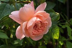 Die erste Rosenblte des Jahres bekommt immer mehr ihre endgltige Form - This year's first rose is approaching its final form (riesebusch) Tags: berlin garten marzahn