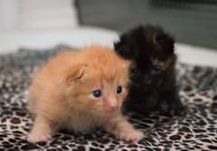 IMG_9449 (jaglazier) Tags: usa cats playing cute animals babies unitedstates tiger may indiana kittens siblings bloomington mammals blackie 2016 52416 copyright2016jamesaglazierandjamesaferguson