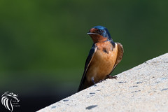 Barn Swallow on Abutment (RGL_Photography) Tags: us newjersey unitedstates wildlife monmouthcounty swallow barnswallow jerseyshore ornithology hirundorustica gardenstate oceanport passerine perchingbird wildlifephotography nikond500 nikonafs200500mmf56eedvr