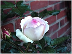 Her Loveliness (MaxUndFriedel) Tags: pink white flower beauty rose garden perfect blossom lovelyness