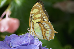 Butterfly 2016-69 (michaelramsdell1967) Tags: flowers light plant flower color detail green love nature beautiful beauty animal animals closeup butterfly bug garden insect hope spring eyes nikon natural vibrant butterflies vivid insects zen upclose