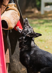 2016-05-22, IPO Training-31 (Falon167) Tags: dog shepherd josh german miles gsd germanshepherddog