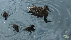 petite famille (bulbocode909) Tags: nature lacs animaux italie oiseaux canards cme