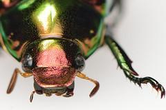 koganemushiml_ds8_3711 (takao-bw) Tags: japan insect beetle coleoptera scarabbeetle