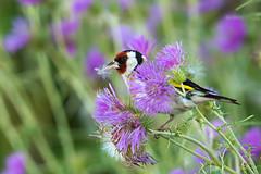 Pompom bird (Jacques GUILLE) Tags: bird 31 oiseau cardueliscarduelis europeangoldfinch hautegaronne chardonneretlgant labege fringillids passriformes
