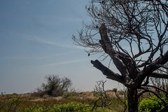 Dead tree and blue sky (lucas2068) Tags: sky espaa tree beach valencia azul arbol spain dune playa burn cielo duna quemado saler