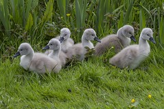 Mute swan cygnets (amandahaxby) Tags: bird nature canon swan yorkshire cygnet mute rodley
