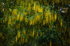 Mimosa Tree (i.begala) Tags: flowers light tree beautiful yellow 50mm blossom mimosa 095 mitakon