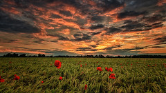 Sunset Poppies (aj_nicolson) Tags: pink sunset red orange green field clouds landscape dusk wheat poppy poppies crops wildflower appicoftheweek