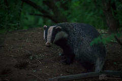 Spotted! (A.Tongue Photography) Tags: wood white black woodland blackwhite leicestershire badger badgerssett