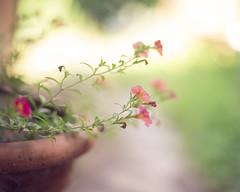a few bells (amy buxton) Tags: flowers summer garden stlouis pottedplant millionbells amybuxton