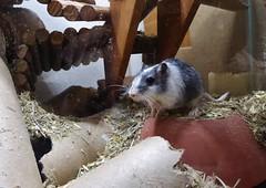P1000078 (therovingeye) Tags: pets gerbil rodents gerbilhabitat