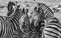 Must...Get...In...Photo (philnewton928) Tags: africa wild blackandwhite bw nature monochrome animal southafrica mammal outdoors nikon pattern natural outdoor african stripes wildlife safari zebra animalplanet krugernationalpark kruger zebras burchellszebra biyamiti equusquaggaburchellii d7200 nikond7200