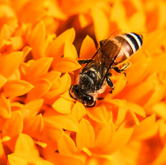 It's happy hour! (Robert-Ang) Tags: wow bee marigold honeybee brilliant flyinginsect