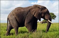 Elephant with Elephant (tor-falke) Tags: africa elephant animal animals tiere flickr african sony ngc safari afrika serengeti animaux elefant tier afrique tansania sonyalpha torfalke flickrtorfalke