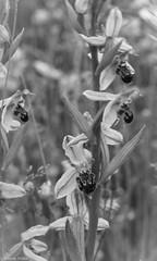 The Bee Orchid (Wayne Stiller) Tags: england brown orchid flower macro beautiful up yellow close purple bee endangered wildflower rare