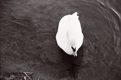Swan (Ursus Bear) Tags: blackandwhite bw white lake black film water monochrome animal analog 35mm canon eos mono see blackwhite swan outdoor monochromatic xp2 chrome 400 650 135 ilford ef f3545 3570 ilfordxp2400super