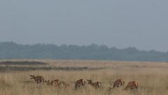 Hindes ...Veluwe (jopieborst) Tags: nature wildlife reddeer veluwe edelherten sigma120400 canon70d