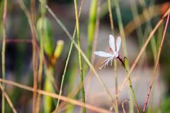 22:52 (phixated) Tags: winter summer plant flower macro nature field garden photography photo nikon dof weeks depth 52 52weeks 52weeksproject 52weeksofphotography 52weeks2016