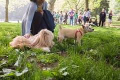 Howie, Norwich Terrier (Charley Lhasa) Tags: nyc newyorkcity dog ny newyork dogs pattern iso400 centralpark manhattan noflash friendly cropped charley offleash howie lightroom lhasaapso nycparks norwichterrier 3stars aperturepriority dng grii hill water centralparkpaws adobelightroom 0ev charleylhasa 183mm ricohgrii offleashhours conservatory secatf28 dogsmet pilgrim unflagged bagelbark 28mm35mmequivalent r007257 taken160604085741 uploaded160605140302 lightroomcc201551 httpstmblrcozpjiby27ym617 adobelightroomcc201551 tumblr160606