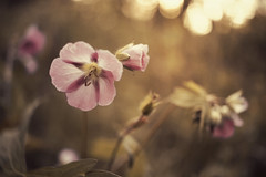 touched by spring (Little Salty Dog) Tags: pink flowers light nature spring woods tones naturephotography