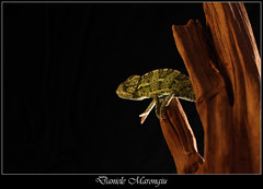Quatto quatto (Daniele Marongiu) Tags: wild macro animal closeup reptile camouflage climber predator chameleon animale coldblood camaleonte mimetismo rettile predatore arrampicatore selvaggio sanguefreddo