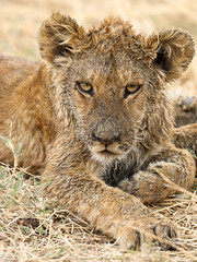 So Tired Of The Rain ... (AnyMotion) Tags: africa travel portrait nature wet animal animals cat tanzania tiere reisen jung wildlife ngc natur lion young portrt npc afrika katze lwe nass tansania 2015 pantheraleo serengetinationalpark anymotion mondayface 7d2 portraitaufnahmen seronerariver canoneos7dmarkii