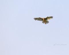 Kestrel (~ **Barbara ** ~) Tags: nature birds woodland wings wire hunting flight beak feathers perch fields local pied kestrel bif wagtail yellowhammer wildbird sigma150500 stoneheap canon7dii bird0fprey