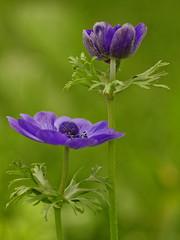 Violet on green (_MG_3327) (Sisko1235711) Tags: macro violet green flower sisko1235711