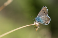 Sideposing (DaOpfer) Tags: sun macro green nature grass butterfly hair licht eyes pentax bokeh natur augen makro sonne wank schmetterling k1 haare feeler lycaenidae bluling fhler smcpentaxdfa100mmf28macro