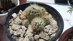 Echinocereus reichenbachii var. albispinus. Junio 2016. (garconwii) Tags: cactus plant echinocereus