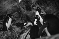 Penguins Chillin (This_is_JEPhotography) Tags: bw white black cold cute saint out zoo louis penguins blackwhite sony group chillin missouri hanging slt a77