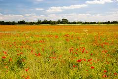 Poppy field, Great Wakering (exfordy) Tags: poppyfield greatwakering exfordy