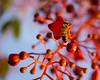 _DSC9300 (exceptionaleye) Tags: california orange macro tree nature sandiego availablelight sony ngc bee southerncalifornia beemacro a6000 sonyphotographing sonya6000 sonyilce6000