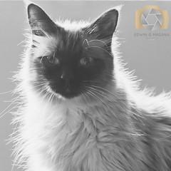 20151014-_MG_6142.jpg (EGM2002) Tags: bw rescue monochrome canon eos is blackwhite kitty 7d usm cleo ragdoll ef70200mm f4l canonef70200mmf4lisusm canoneos7d canon7d
