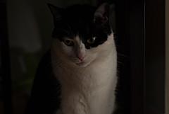 Jujube the cat (SebKomo) Tags: canada quebec redirection nikon d3000 50mm f18d cat flash sb700 chat