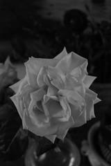 Rosa in interno (Massimo Caccia) Tags: bw flower primavera monocromo rosa dettagli biancoenero interno fioritura