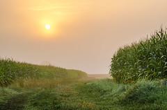 Maisfelder am Morgen - Corn fields at morning (Der Gnurz) Tags: nature countryside natur felder fields cornfields sonnenaufgang feldweg atmorning ammorgen maisfelder